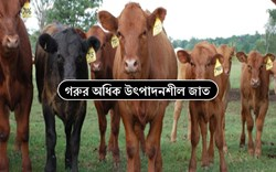 Profitable Cow Breed - কৃষকরা আয় বাড়াতে কোন জাতের গরু পালন করবেন, জানুন গরুর অধিক উৎপাদনশীল প্রজাতি সম্পর্কে