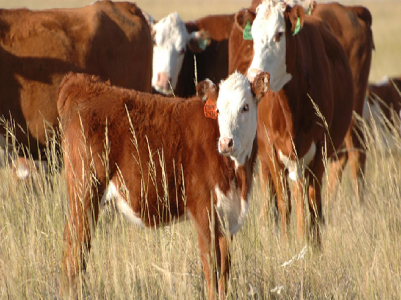 Cow Breed (Image Credit - Google)