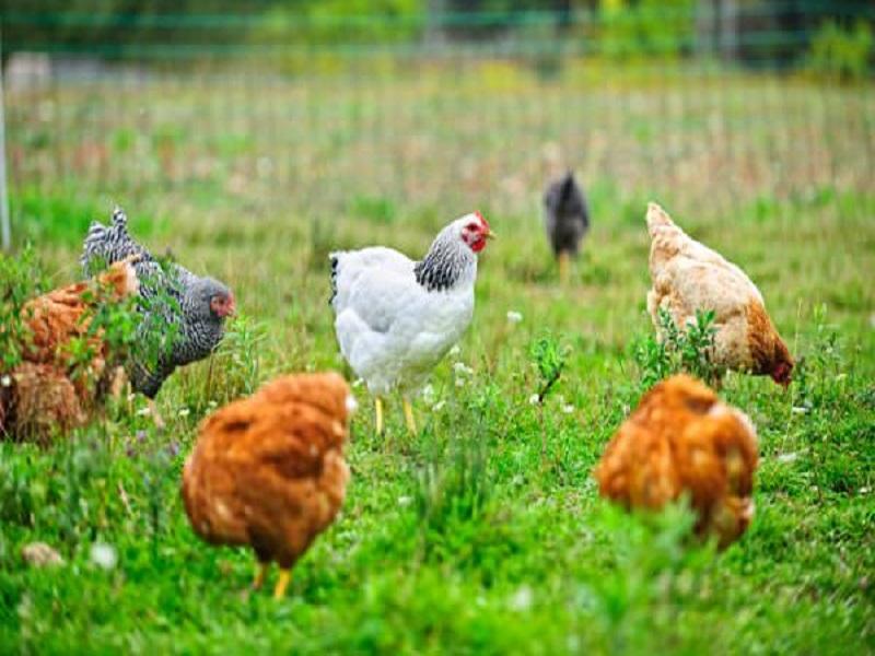 Pastured poultry farming (image credit- Google)