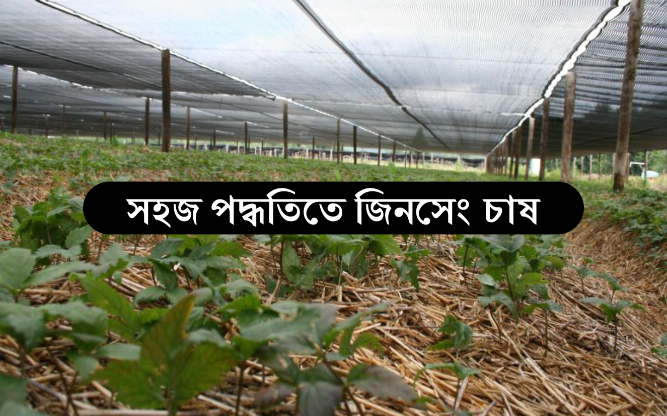 Ginseng Farming: জিনসেং চাষ করে দ্বিগুণ অর্থ লাভ করুন