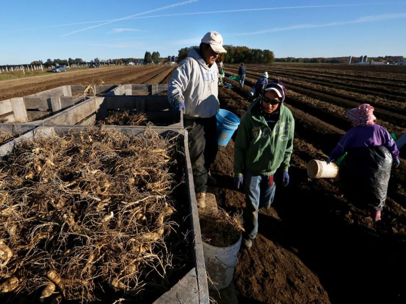 Ginseng Farming