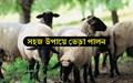 Sheep rearing Procedure হয়ে উঠুন দক্ষ ভেড়া প্রতিপালক