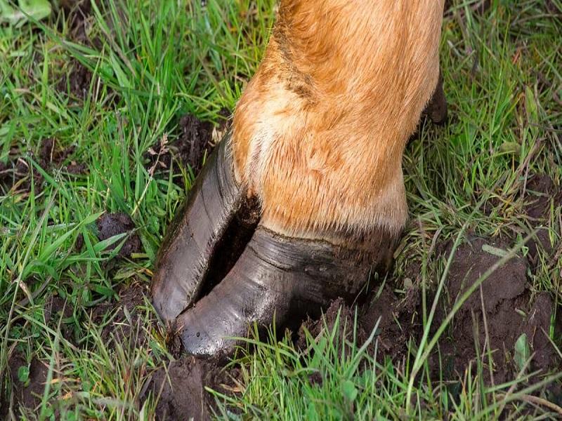 Cattle hoof disease (image credit- Google)