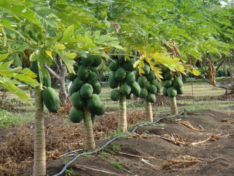 Papaya tree (image credit- Google)