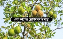 Lemon diseases and remedies: শিখে নিন লেবু গাছের রোগ দমনের দুর্দান্ত প্রতিকারসমূহ