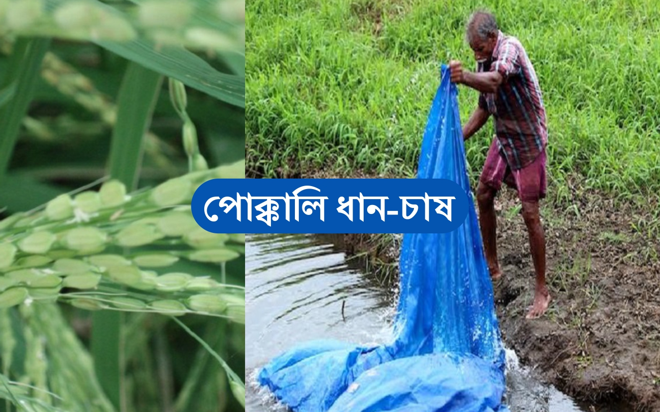 Pokkali Rice Farming: বিশ্বের প্রাচীনতম ও দীর্ঘতম ধান হলো পোক্কালি