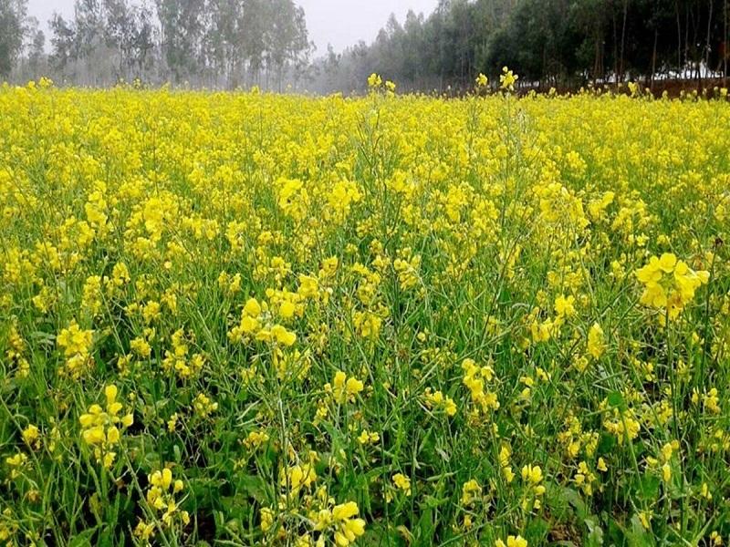Oilseed farming (image credit- Google)