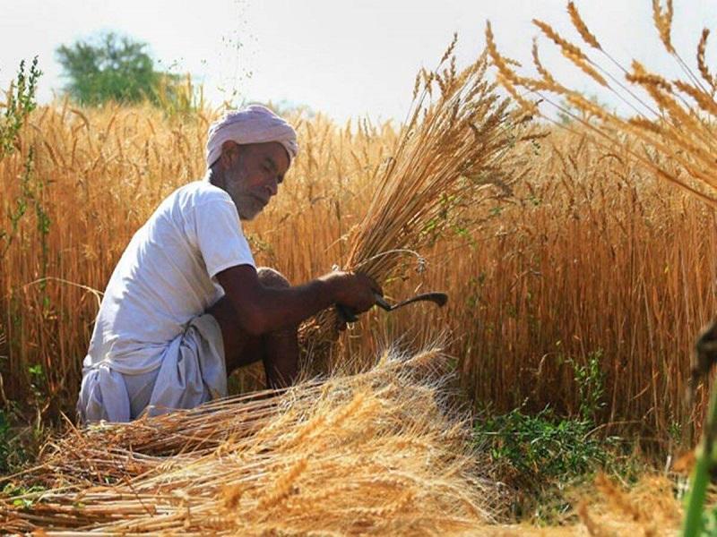 Wheat procurement high (image credit- Google)