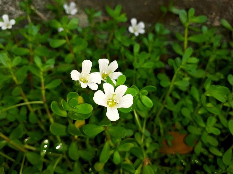 Brahmi Herb Cultivation