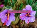 Saffron Cultivation - কীভাবে করবেন জাফরানের চাষ, জেনে নিন সহজ পদ্ধতি