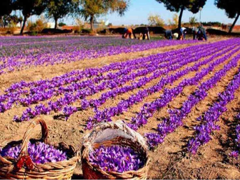 Saffron cultivation technique (Image Credit - Google)