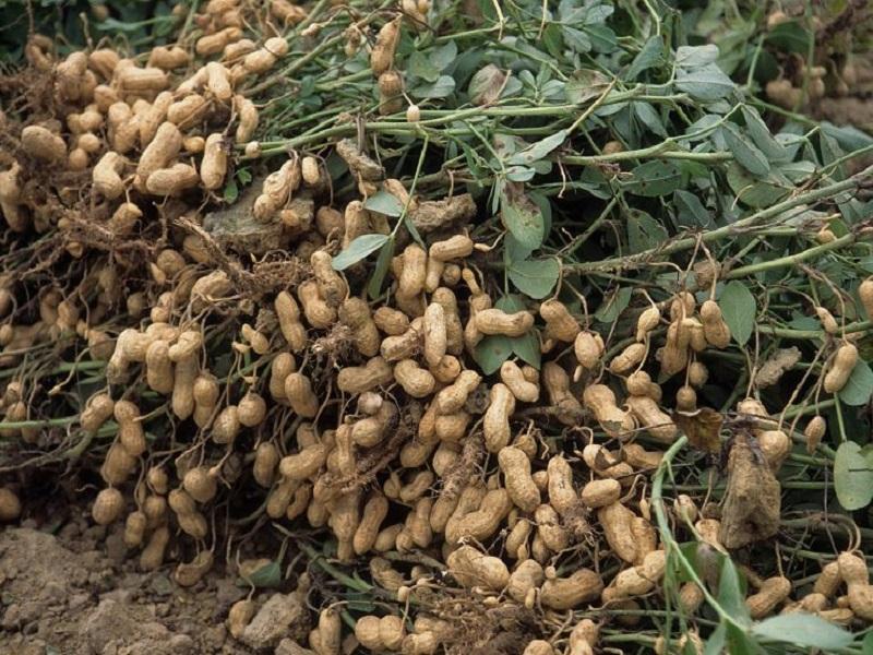 Groundnut (image credit- Google)