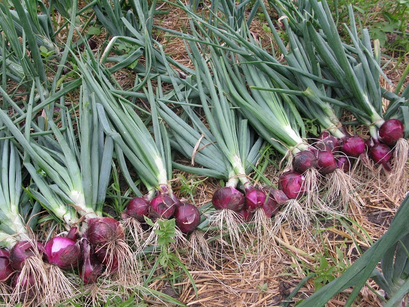 Onion Farming Process