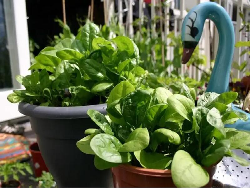 Malabar Spinach (Image Credit - Google)