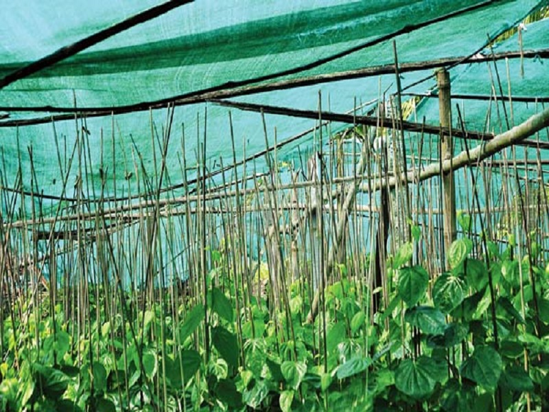 Betel cultivation (image credit- Google)