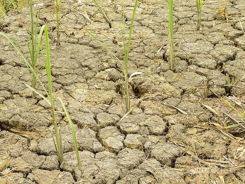 Dry paddy field (image credit- Google)