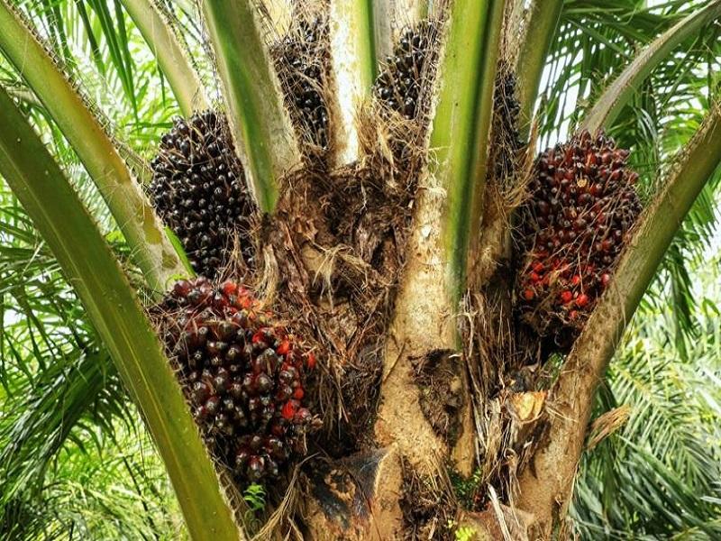 Palm tree (image credit- Google)