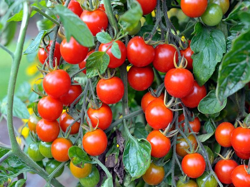 Sweet Cherry Tomato Farming