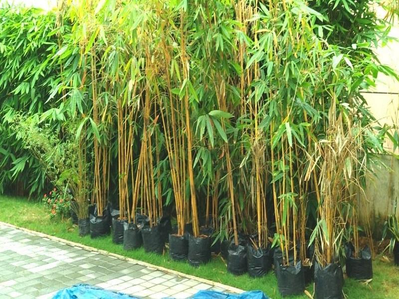 Bamboo tree (image credit- Google)