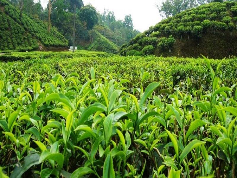 Tea farming (image credit- Google)