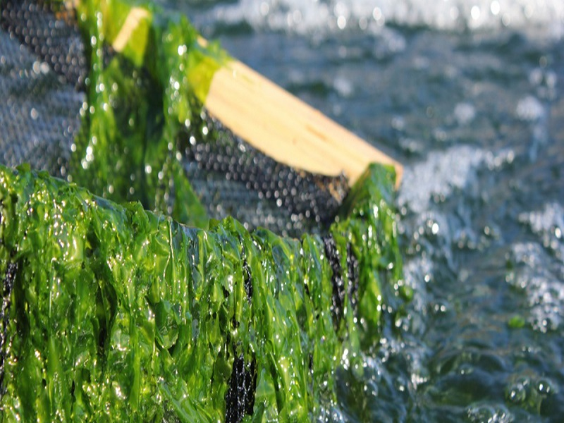 seaweed (image credit- Google)