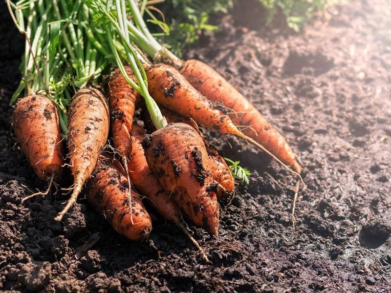 Carrot Farming in Winter