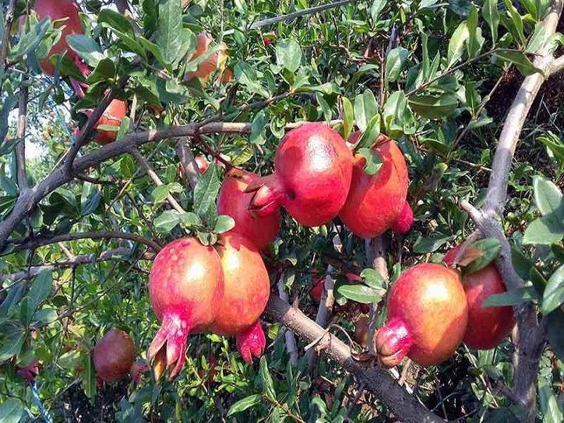 Pomegranate farming (image credit- Google)