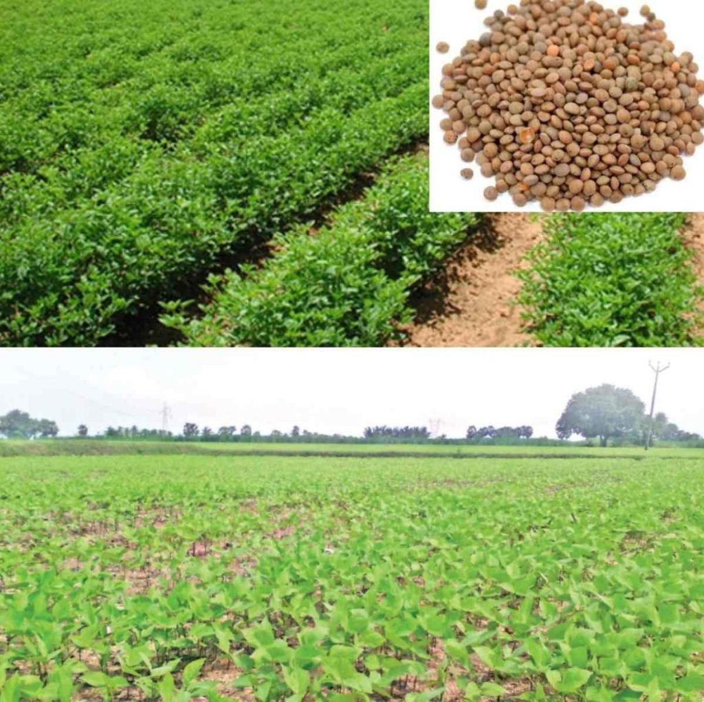 Lentils Cultivation