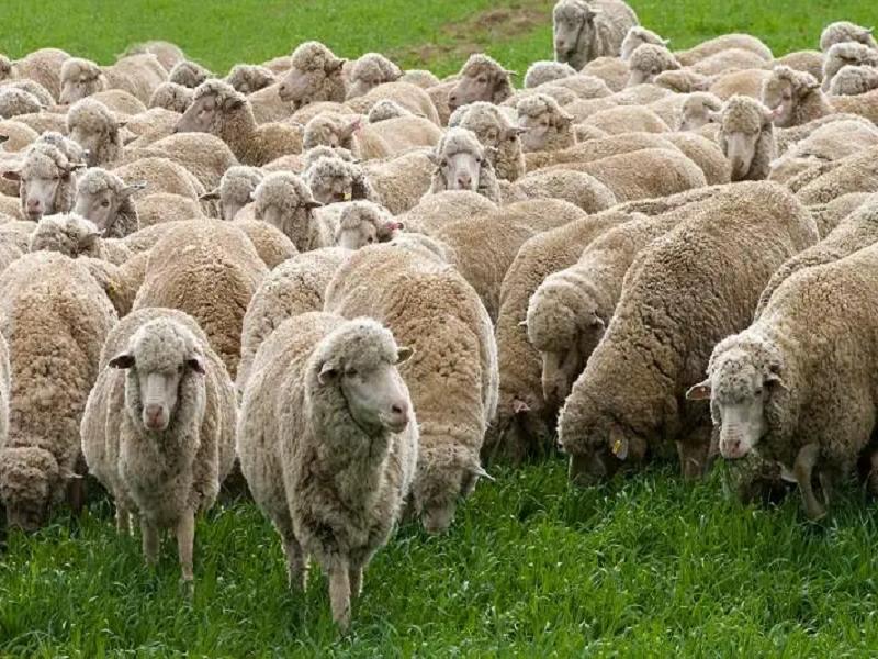 Sheep Rearing (Image Credit - Google)