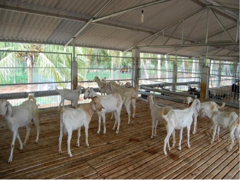 Goat terrace farming (Image Credit - Google)