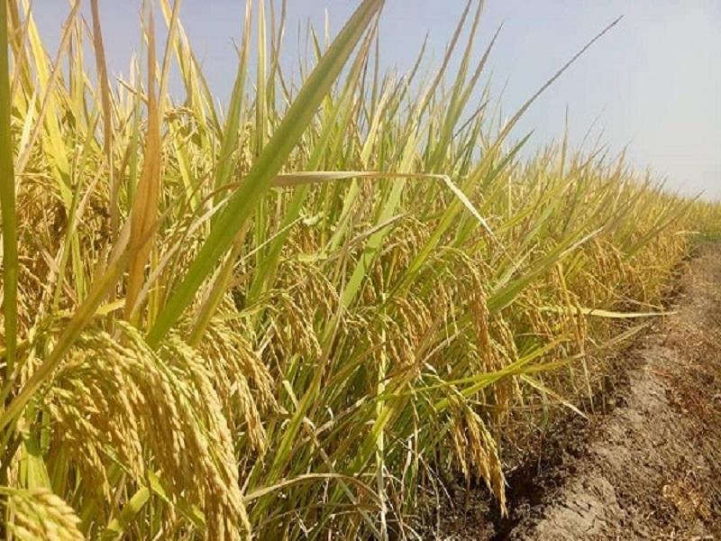 Aush paddy farming (image credit- Google)