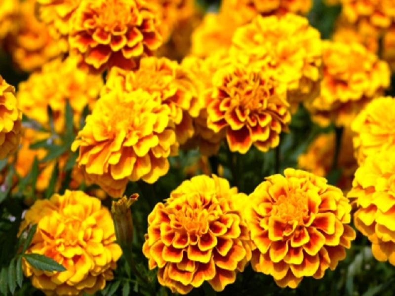 Marigold tree (image credit- Google)