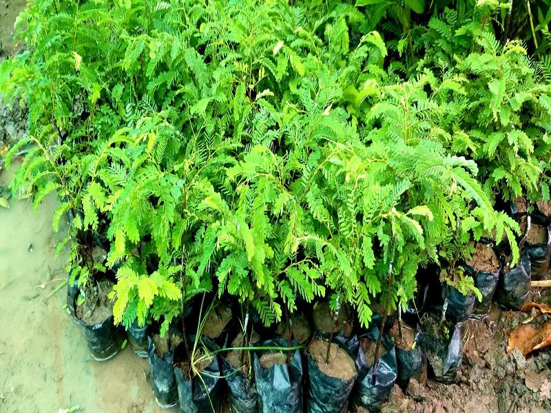 Sweet Tamarind Farming