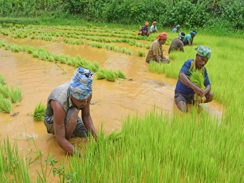 Odisha farming (image credit- Google)