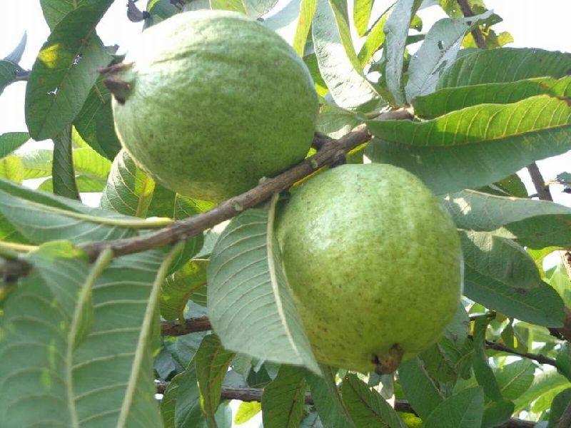 Guava Tree (Image Credit - Google)
