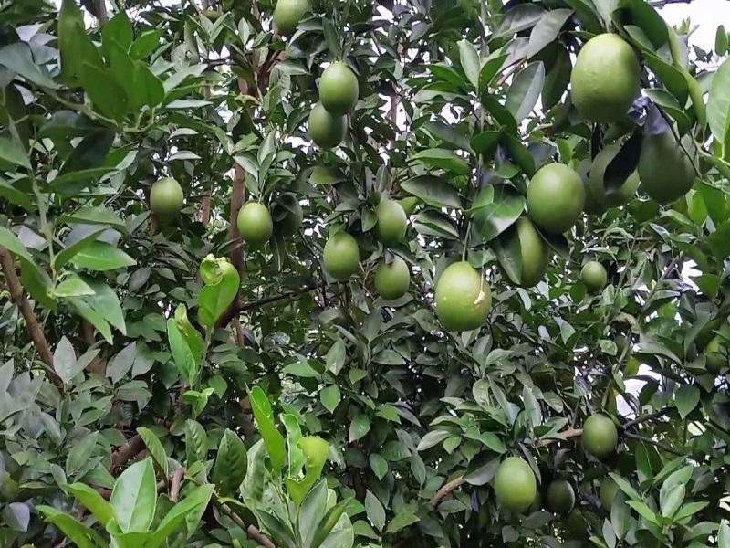 Green Malta tree (image credit- Google)