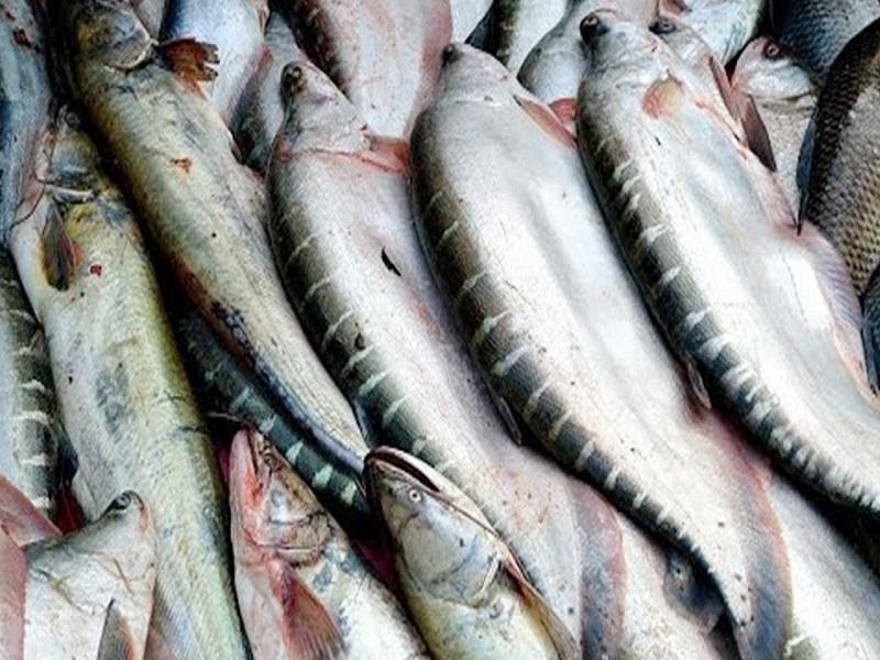 Clown knifefish Farming
