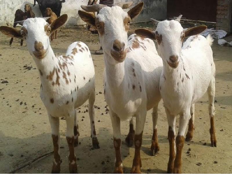 Barbari goat (Image Credit - Google)