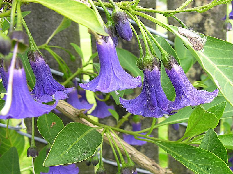 Datura Tree (Image Credit - Google)