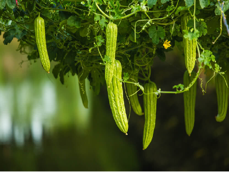 Cucumber  (Image Credit - Google)