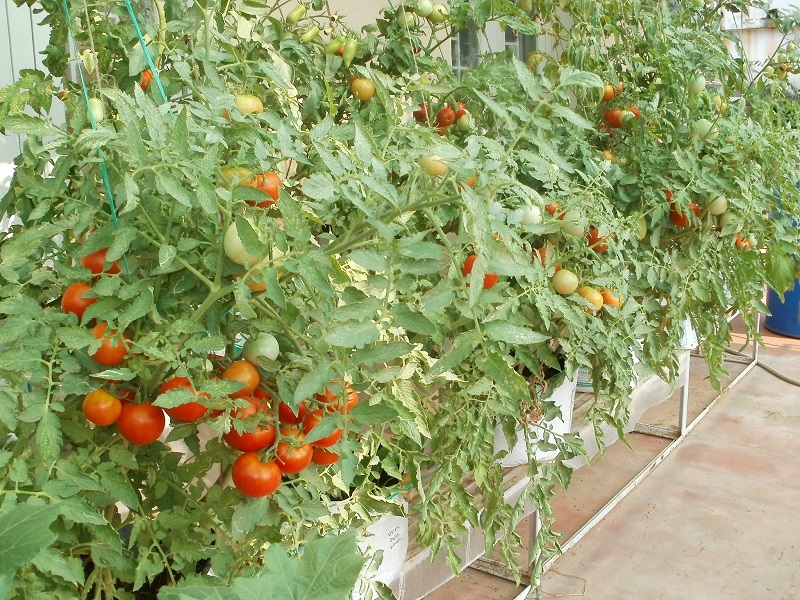 Tomato tree (image credit- Google)