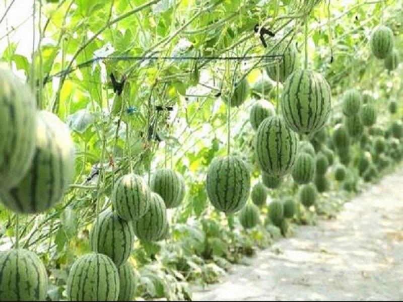 Watermelon farming (image credit- Google)