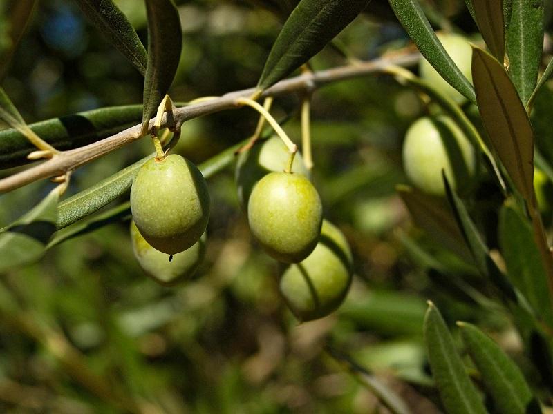 Olive Farming