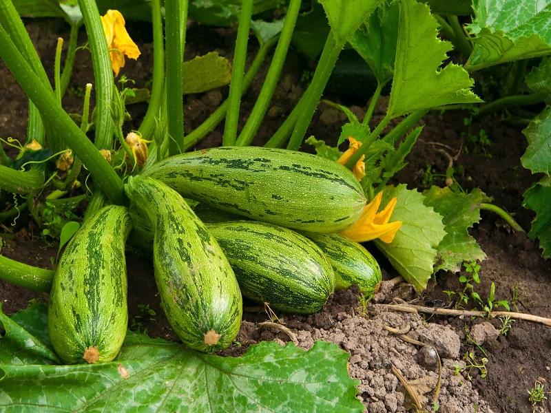 Squash Farming Process