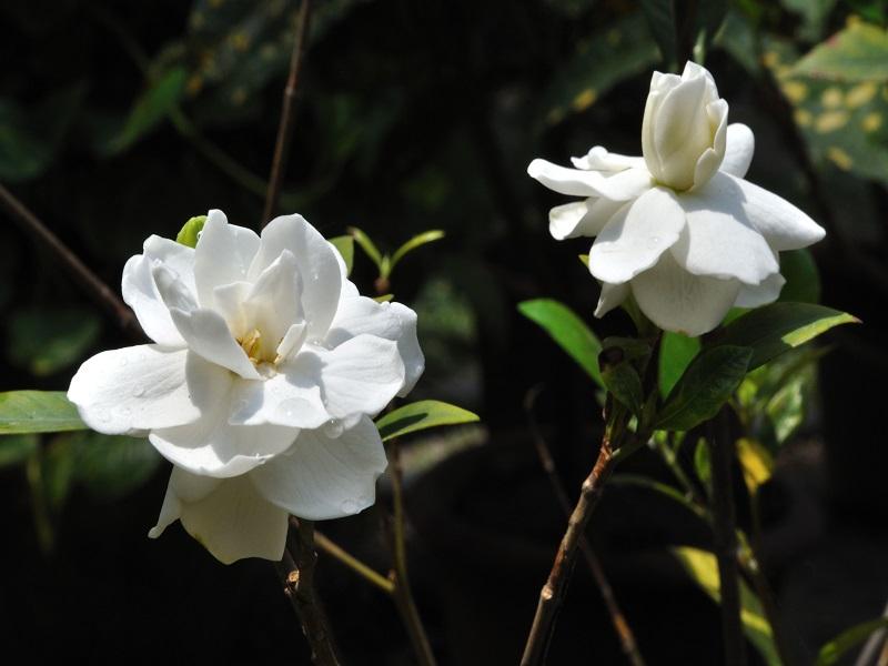 Gardenia Farming