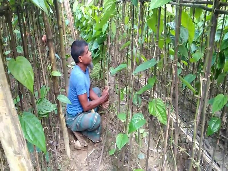 Beatle vine Cultivation