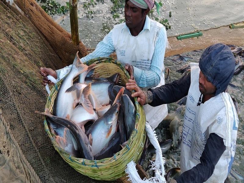 Pangash Fish Cultivation