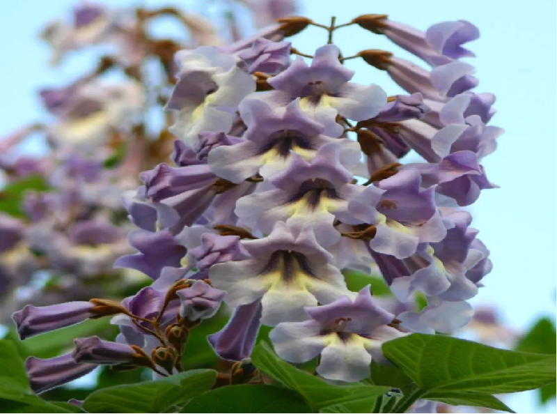 Royal Empress Tree (Image Credit - Google)