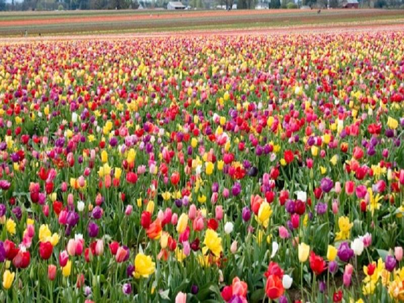 Flower farming (image credit- Google)
