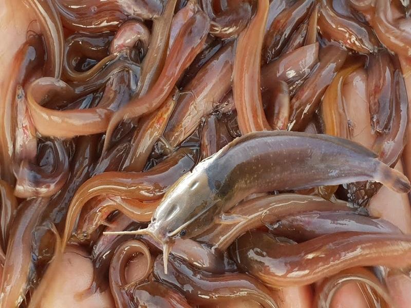 Barbel Fish Farming